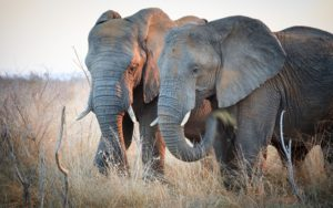Swaziland elephant safari